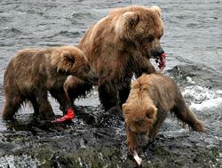 Медведи гризли фото Катмаи, Аляска Katmai Brooks falls Alaska.