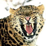 http://www.alins.ru/images/land_predators/leopard/1.jpg