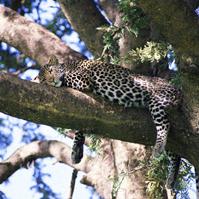 http://www.alins.ru/images/land_predators/leopard/2.jpg