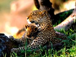 http://www.alins.ru/images/land_predators/leopard/3.jpg