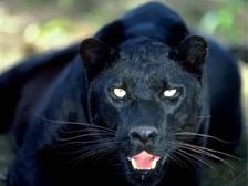 http://www.alins.ru/images/land_predators/pantera/1.jpg